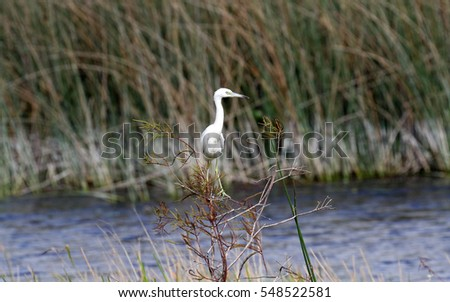 Beautiful great white egret, in a marsh in South Florida