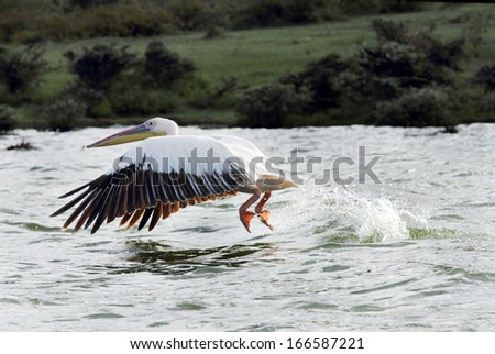 Beautiful Great White Pelican with wings spread down moving above water - stock photo