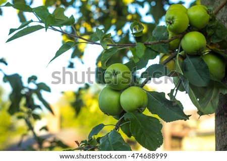 Beautiful green apples on apple tree with clear background.