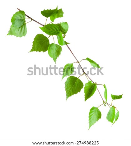 Beautiful green birch branch isolated on a white background - stock photo