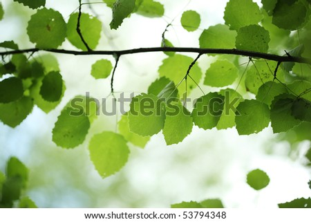 Beautiful green birch leaves over blurred background. Shallow DOF. - stock photo