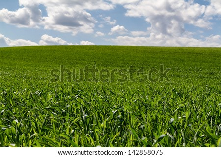 Beautiful green cereal field with white clouds