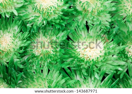 Beautiful green Chrysanthemum flowers as a background - stock photo