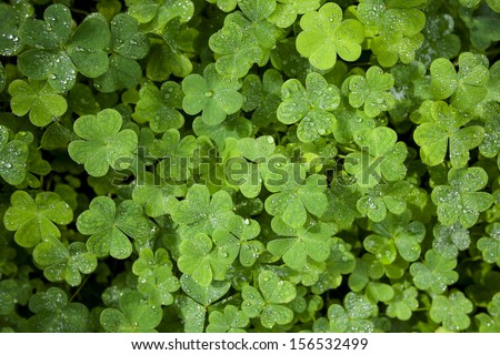 Beautiful green clover closeup - st Patrick day concept - 17 march - stock photo