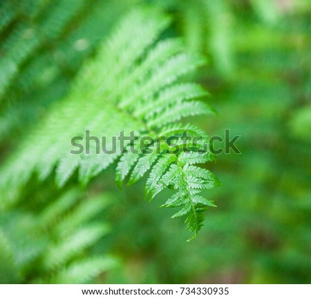 Beautiful green fern stems and leaves (Pteridophyta)