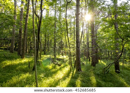 beautiful green forest in summer. Forest trees. nature green wood sunlight backgrounds