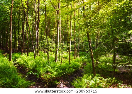Beautiful green forest with fern. Springtime landscape. Nature reserve in Germany - stock photo