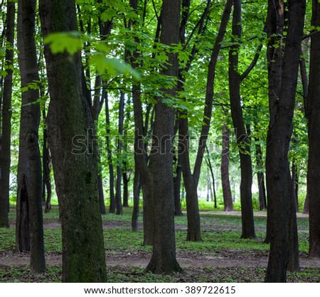 Beautiful green forest with maple trees in summer day. - stock photo