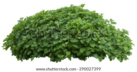 Beautiful green fresh ornamental tree isolated on white background - stock photo