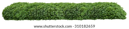 Beautiful green fresh ornamental wild hedge isolated on white background (very large) - stock photo