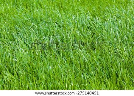 Beautiful green grass. Grass background. Green grass texture - stock photo