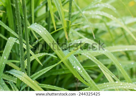Beautiful green grass with drops of water