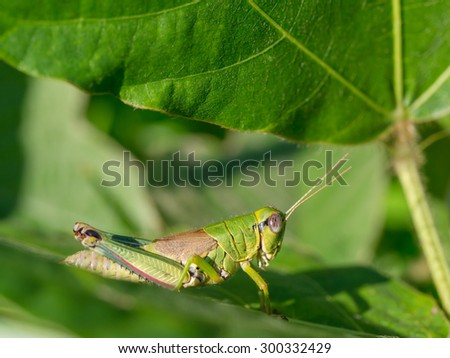 Beautiful green grasshopper on the leaf of summer forest