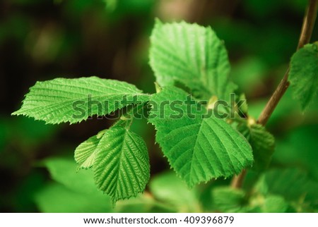 Beautiful green hazel tree (Corylus avellana) leaves in shade close up image  - stock photo