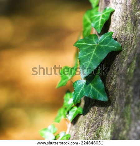 Beautiful green ivy climbing up the huge tree trunk  - stock photo