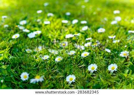 Beautiful green lawn with white fresh chamomile flowers lit by sunlight - stock photo