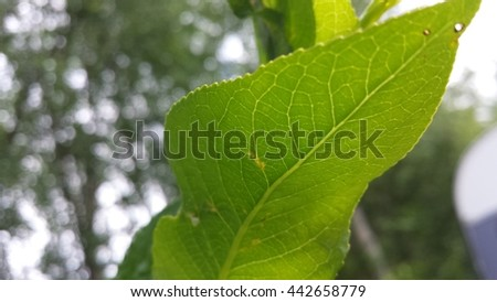 beautiful green leaf underside with clear veins showing in sunshine