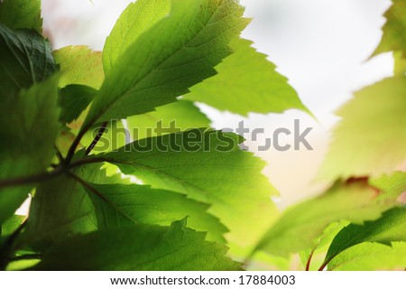 Beautiful green leaves close-up. Shallow DOF. - stock photo