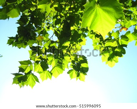 Beautiful Green Leaves in backlight