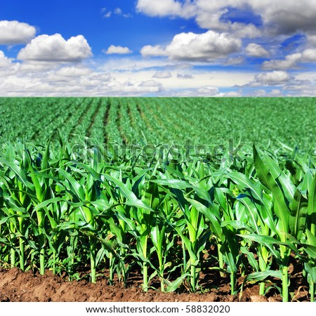 Beautiful green maize field - stock photo