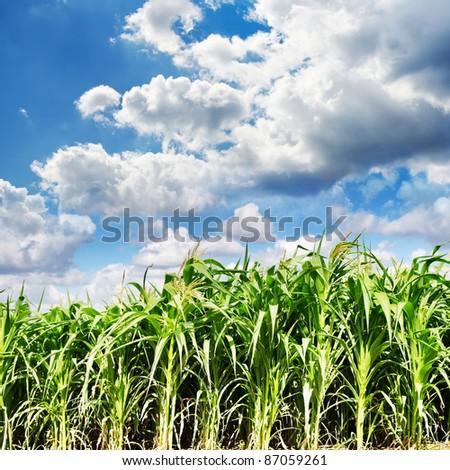 Beautiful green maize field - stock photo