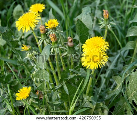 Beautiful green meadow with nice dandelions. Wonderful rural landscape. Amazing meadow with wildflowers. Summer countryside environment. Village. Yellow dandelions.Summer season. Green grass - stock photo