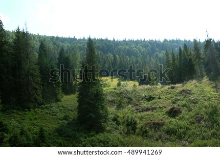 Beautiful green pine trees on Carpathian mountains