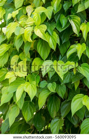 beautiful green Piper betel leaves texture and background