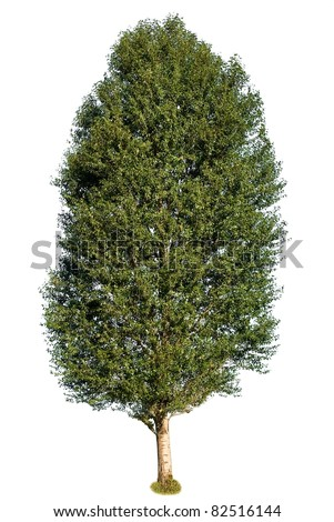 beautiful green poplar on a white background