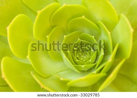 Beautiful Green Succulent Sempervivum Cactus Blossom Abstract Image. - stock photo