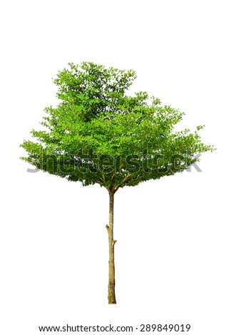 Beautiful green tree isolate on white backgroundwith clipping path ( high definition) - stock photo