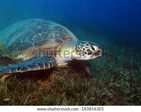 Beautiful green turtle
