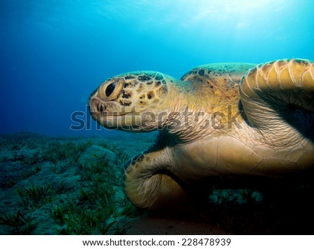 Beautiful green turtle (Chelonia mydas) swimming under the sun, Abu Dabbab - stock photo