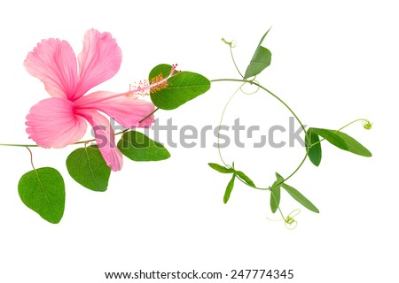 beautiful green twig of passionflower and pink hibiscus closeup is isolated on white background - stock photo