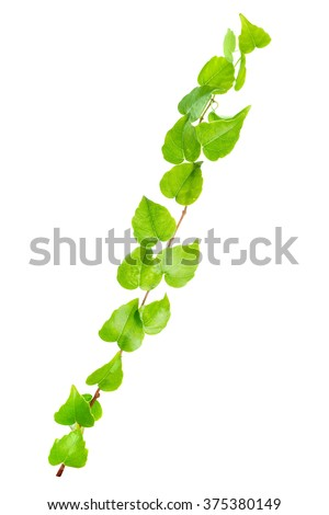 beautiful green twig of straight ivy is isolated on white background, closeup - stock photo