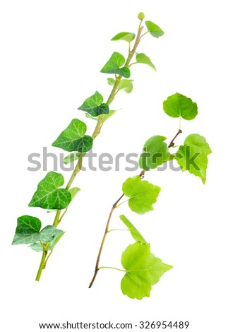 beautiful green twigs of straight ivy is isolated on white background, closeup