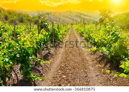 Beautiful green vineyard at sunset time. Landscape with rural winery field - stock photo