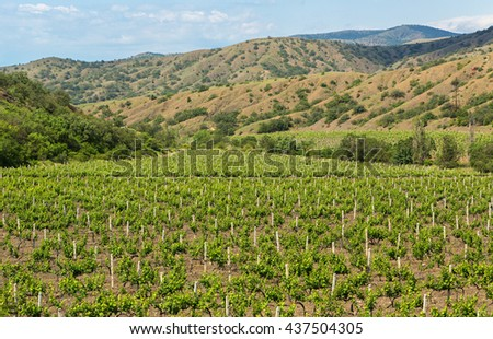 Beautiful green vineyards on fields in mountains of Crimea.