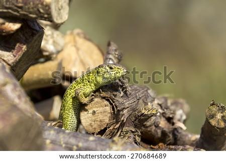 Beautiful green wall lizard in the garden - stock photo
