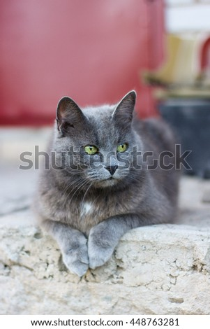 Beautiful grey cat with yellow eyes laying on the porch of the house, british shorthair or russian blue gray cat.