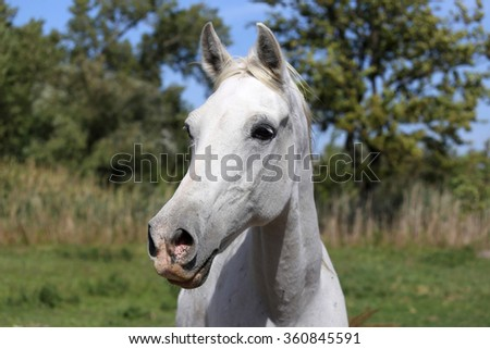 Beautiful grey colored arabian mare looking around in summer corral against natural background - stock photo