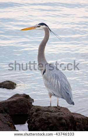 Beautiful grey heron (Ardea cinerea) portrait at the beach - stock photo