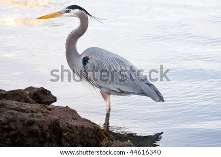 Beautiful grey heron (Ardea cinerea) portrait at the beach - stock photo
