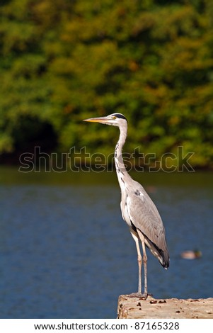 Beautiful grey heron standing on the lake shore looking into the distance