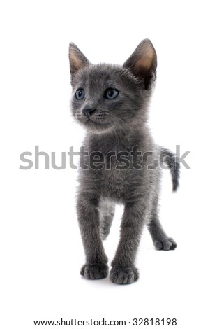Beautiful grey kitten isolated on white background