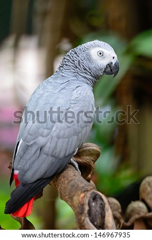 Beautiful grey parrot, African Grey Parrot (Psittacus erithacus), standing on a branch - stock photo