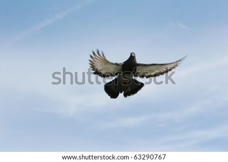 Beautiful grey pigeon flying high in the sky with her wings fully outstretched. - stock photo