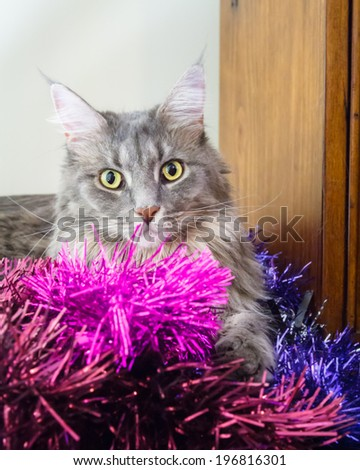 Beautiful grey tabby cat with large green eyes playing in purple tinsel, ready for Christmas - stock photo