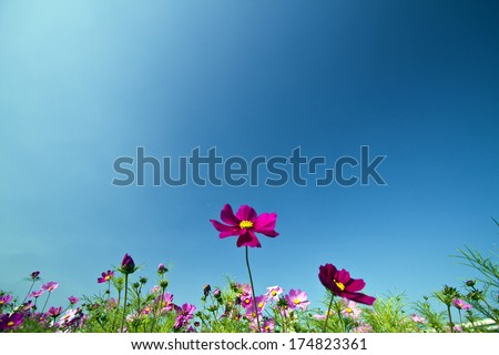 beautiful group field of bloom flowers Cosmos bipinnatus against clear blue sky - stock photo