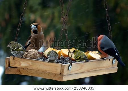 Beautiful group of winter birds on bird feeder - stock photo